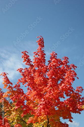 Keuken foto achterwand Vlinders in Grunge Herbstlicher Ahornbaum