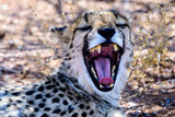 Close up of a cheetah yawning