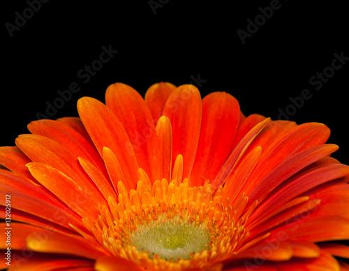 Fotobehang Gerbera Beautiful orange gerbera flower, macro image
