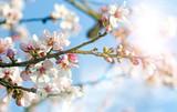 Glückwunsch, alles Liebe: Verträumte Kirschblüten  vor blauem Frühlingshimmel :) - 132041564