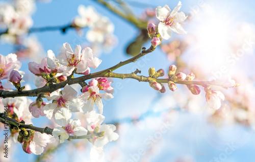 Glückwunsch, alles Liebe: Verträumte Kirschblüten  vor blauem Frühlingshimmel :) Poster