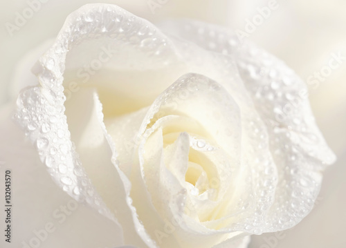 Zdjęcia na płótnie, fototapety na wymiar, obrazy na ścianę : Beautiful white rose in dew drops close-up macro soft focus spring outdoor on a soft blurred white background. Floral background desktop wallpaper a postcard. Romantic soft gentle artistic image.