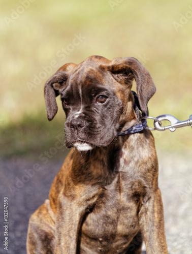 Poster Boxer dog