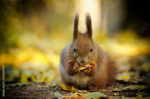Tuinposter Eekhoorn European red squirrel