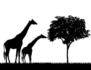 Silhouettes of giraffes and tree on white background vector