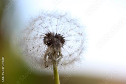Dandelion Seed  - 132100135