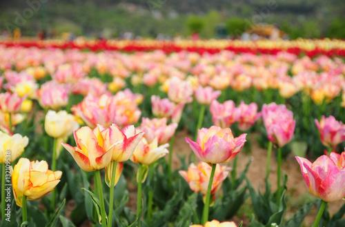 Poster Tulip garden in Srinagar, Kashmir, India