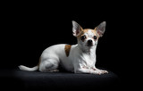 Brown and white chihuahua in black