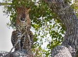 Leopard in wild nature. Yala national park, Sri Lanka