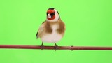 goldfinch moves on a tree branch on green screen