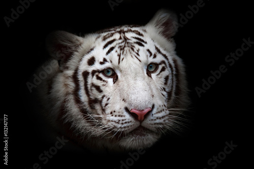 Staande foto Panter White tiger