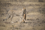 Cheetah and Gazelle Kill, Serengeti