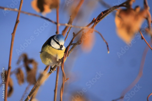 Poster Blue tit on a tree at winter
