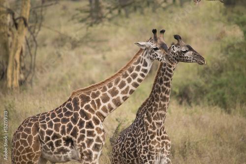 Poster Giraffe Duo, Serengeti