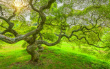Japanese Maple Tree in Princeton New Jersey  - 132160980