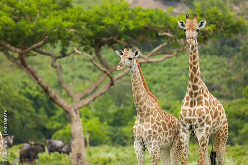 Poster Two Giraffes and an Acacia Tree