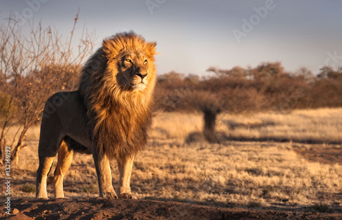 Strong and confident lion on a hill. Poster