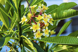 Plumeria Frangipini Blossums Flowers Sea of Galilee Israel