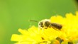 Dandelion flower on the field and honey bee working extreme closeup, macro. Nature scene. Slow motion 1080 full HD video footage. High speed camera shot