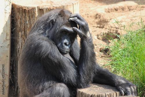 Poster Der nachdenkliche Affe