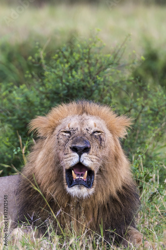 Poster Lion (Panthera leo). Serengeti National Park. Tanzania