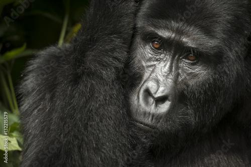 Poster Mountain gorilla (Gorilla beringei beringei)
