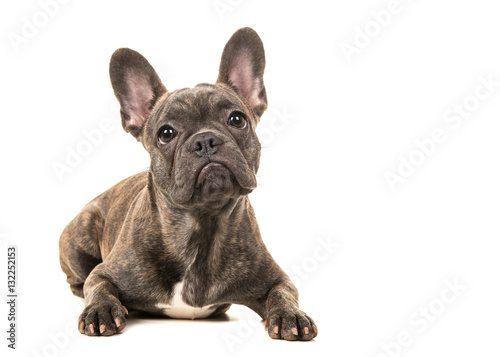 Poster Franse bulldog Cute french bulldog lying on the floor
