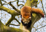 Red Panda clambering in a tree