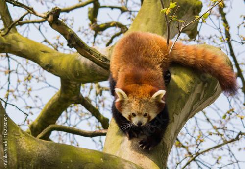 Fotobehang Rotterdam Red Panda clambering in a tree