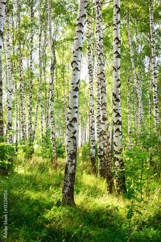 Fotobehang Berkenbos summer in sunny birch forest