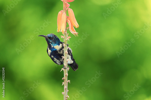 Poster Purple Sunbird Wildlife on Aloe Vera Plant Flower