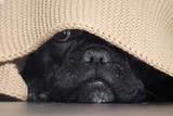 The dog's nose peeping from under the blanket - 132325141
