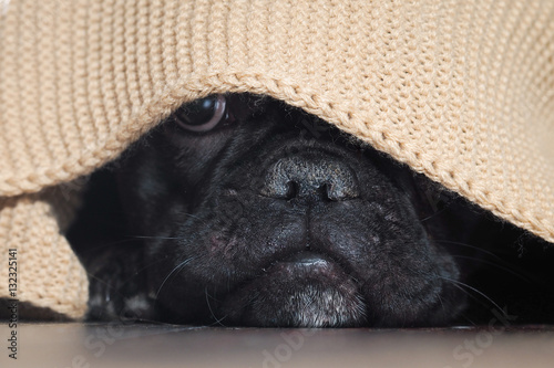 Deurstickers Franse bulldog The dog's nose peeping from under the blanket