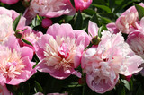Pink peonies in the spring garden. Lush flowering.