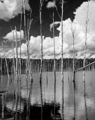 Reflection of the birch-trees in the water of the pond - Russia (black and white)