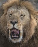 Lion Sneezing, Seregeti