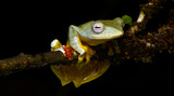 Beautiful Frog, Frog , Tree Frog, Tree frog on branch , Frog of