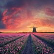 Dawn over Field of Tulip and Windmill