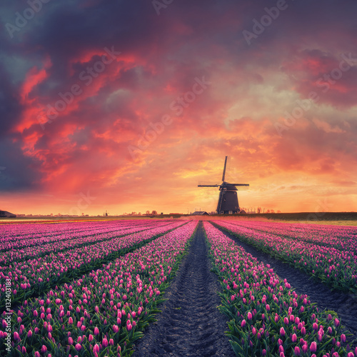 Plagát Dawn over Field of Tulip and Windmill