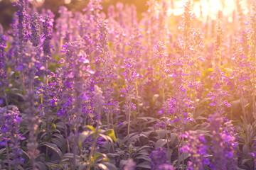 beautiful lavender flowers in the garden
