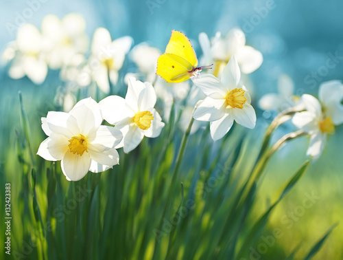 Fototapety, obrazy : Beautiful daffodils on sunshine against blue sky spring background. Yellow butterfly on flower of narcissus in spring sun shines in summer outdoors. Colorful sweet tender romantic airy artistic image