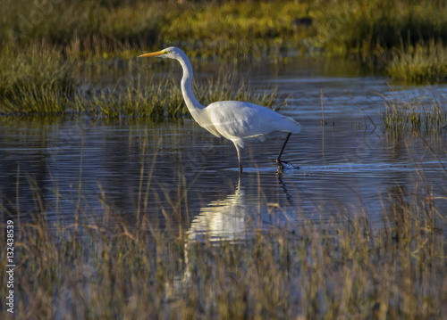 Poster Great egret, ardea alba, in a pond