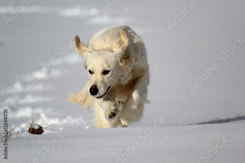 Poster golden retriver dans la neige