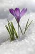 Кроку� фиолетовый ра�тет на �негу, ве�енний цветок.