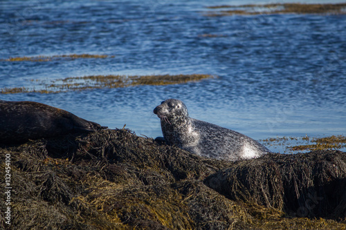Poster Seal taking sunbath 3, Iceland