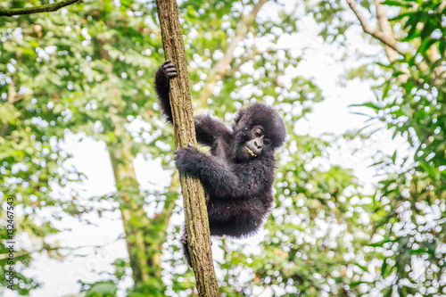 Poster Baby Mountain gorilla playing in a tree.