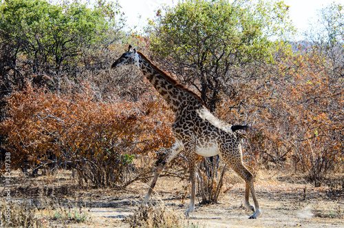 Poster Girafffe running through the bush
