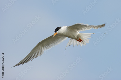 Poster Tern in the Blue Sky