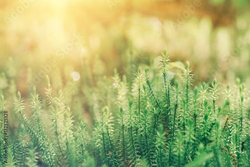Abstract natural sunny background with green moss in the forest. Seasonal spring eco concept - 132525328