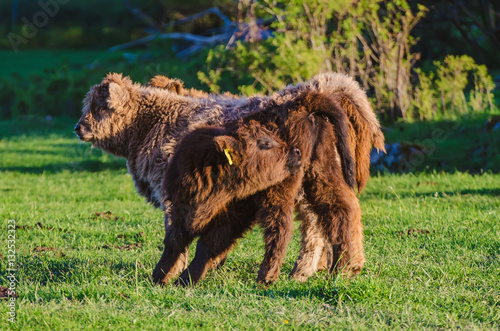 Poster Scotland highland hairy red cow calfs grazing at the green summer meadow, agricu